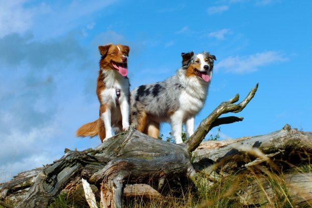 Название пород собак средних размеров - Австралийская овчарка