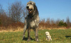 Породы больших собак