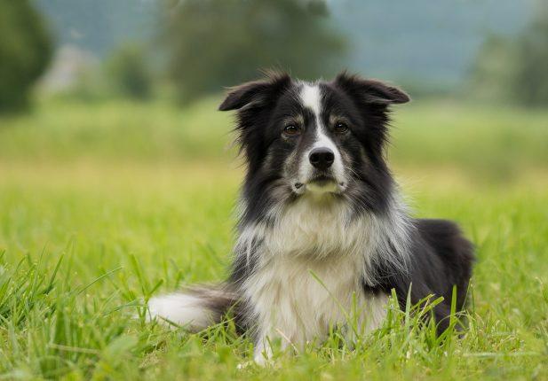 Породы собак среднего роста - фото бордер колли
