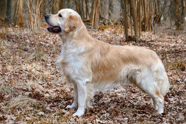 Средние породы собак для квартиры - Золотистый ретривер