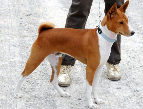Средние породы собак - фото Басенджи