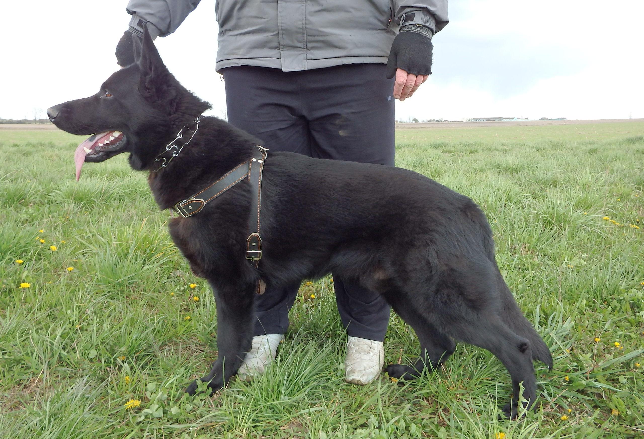 фото овчарок черных немецких