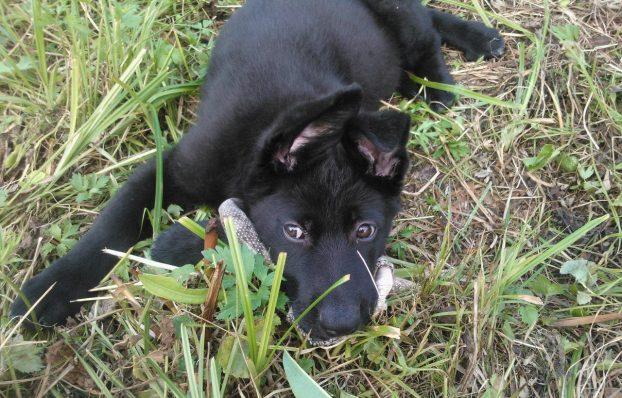 Фото щенка немецкой овчарки черного окраса
