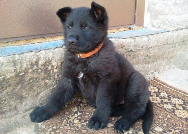 Черный щенок породы немецкая овчарка