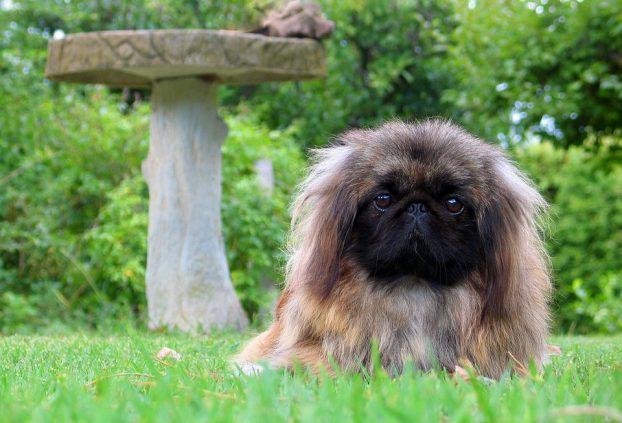 Сколько живут собаки породы пекинес