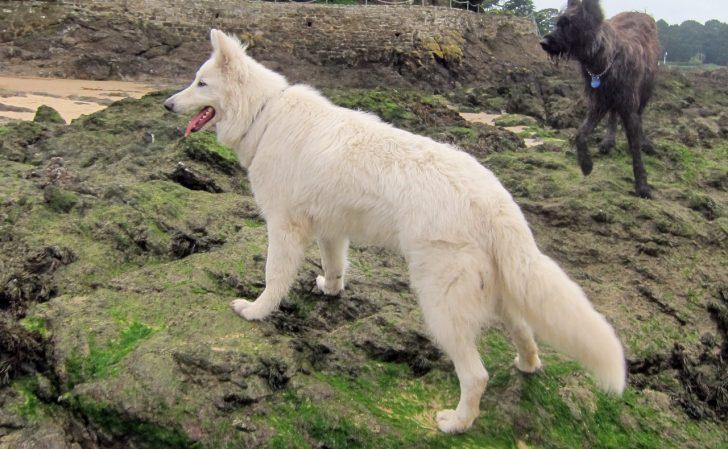 Большие белые породы собак - швейцарская овчарка