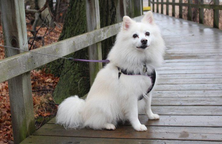 Маленькая белая пушистая порода собак - Американская эскимосская