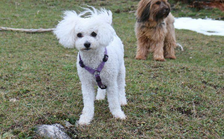 Маленькие белые породы собак - фото Бишон фризе