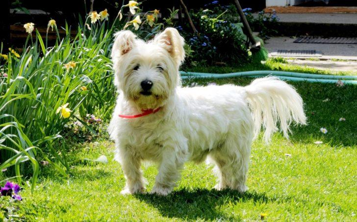 Маленькие белые породы собак - фото Вест-хайленд-уайт-терьера