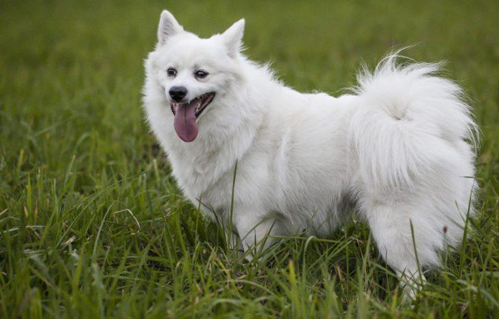 Маленькие белые породы собак - фото Вольпино итальяно