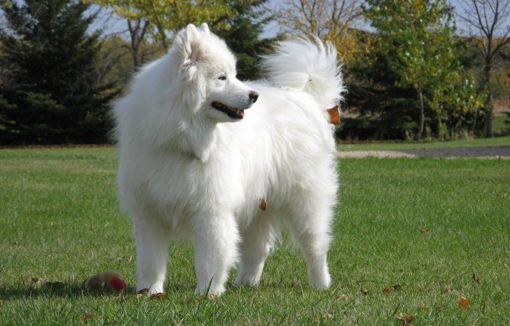 порода больших белых пушистых собак